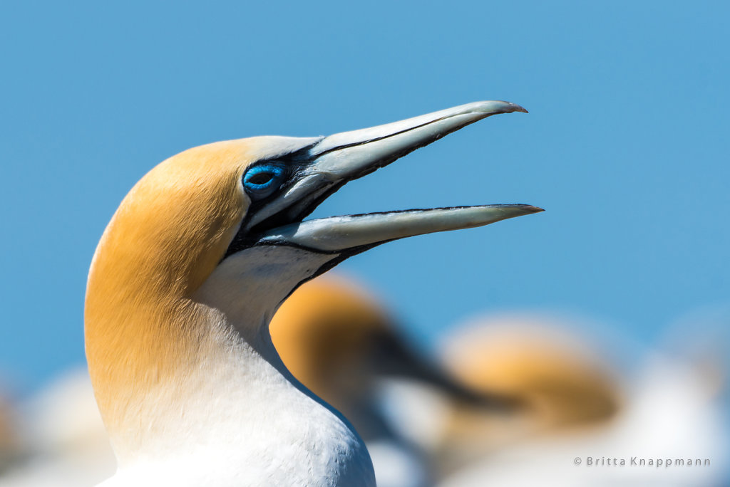 gannet - cape kidnappers
